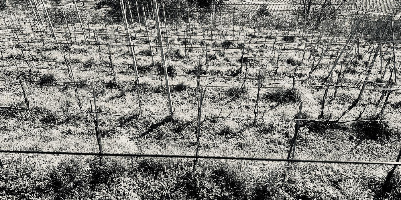 Jeunes vignes en pinot noir pour la production de crus et millésimes